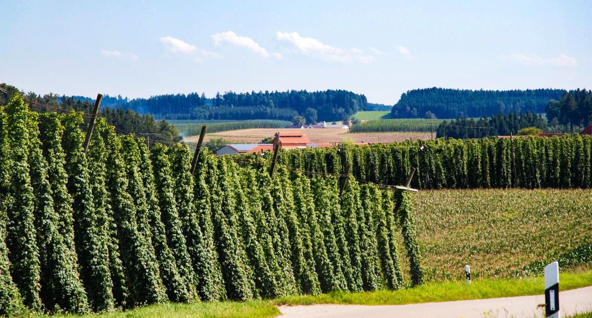 acres of hop plants