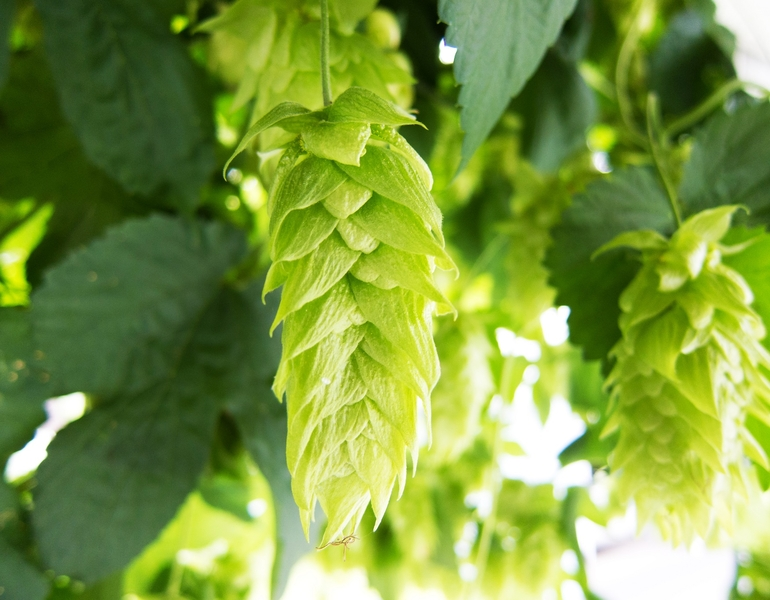 The 9 Most Influential Hops of All Time