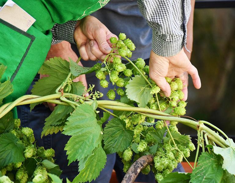 Hop Harvest in the Willamette Valley