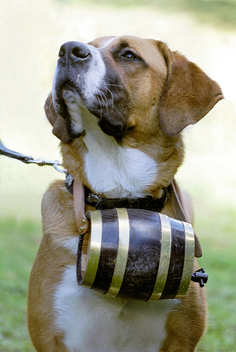 St. Bernards: A Tail of Licker Barrels and Heroism