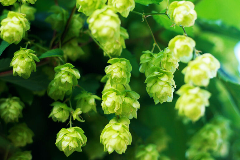 What Makes Nelson Sauvin Hops Special?