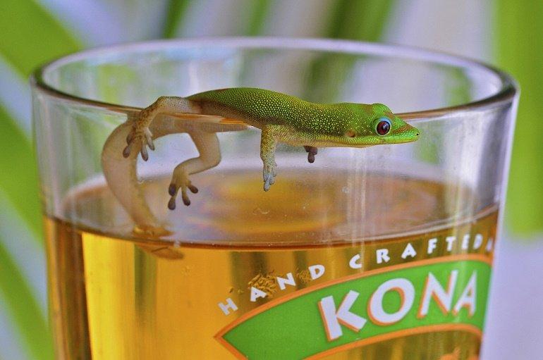 Kona Brewing Gecko Beer