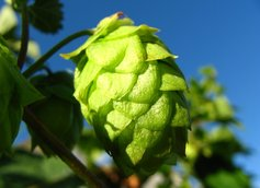 Green Hop Flower